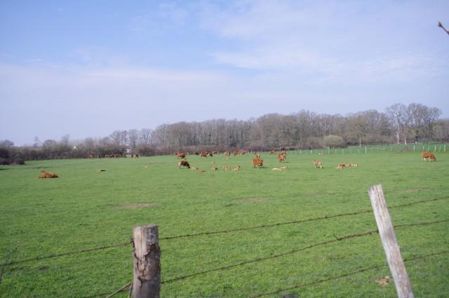 Vaches Fillé