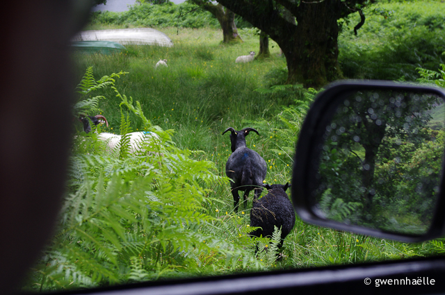 2014-07-04_08-Isle_of_Mull-moutons_noirs-blog