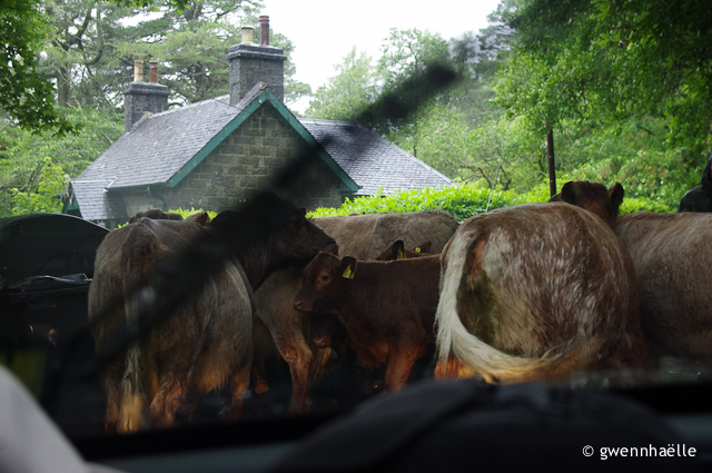 2014-07-04_12-Isle_of_Mull-vaches_route-blog