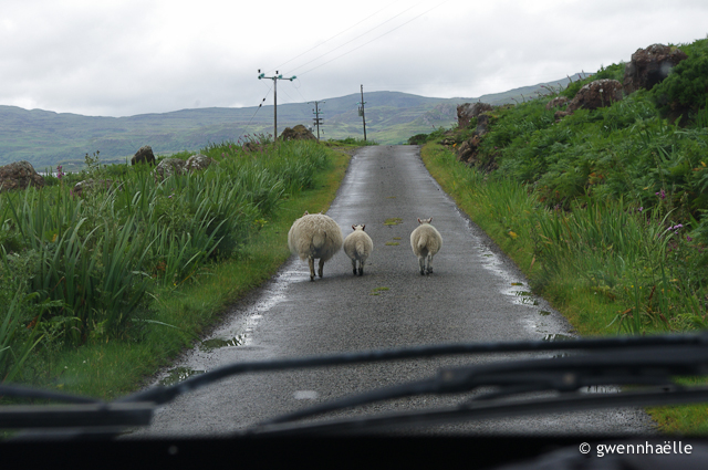 2014-07-04_42-Isle_of_Mull-moutons_route-blog